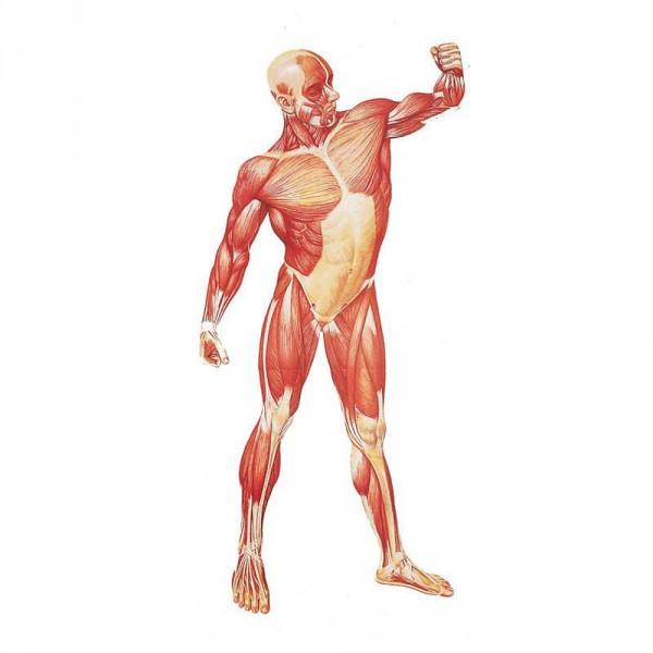 wall chart, human musculature, front, 84 x 200 cm