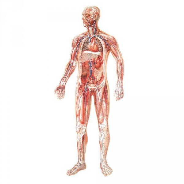 wall chart, vascular system, 84 x 200 cm