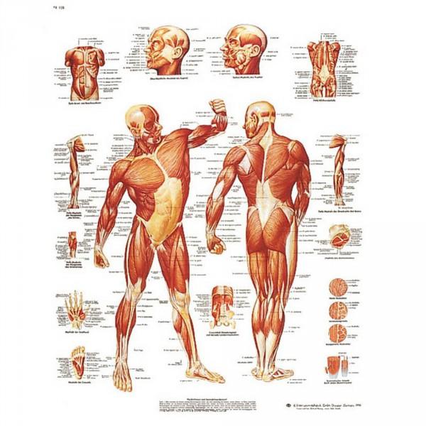 wall chart, human musculature, 50 x 67 cm