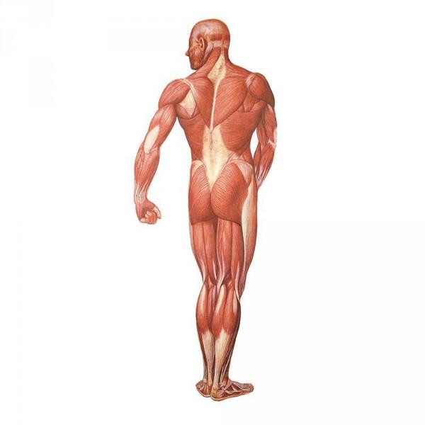 wall chart, human musculature, back, 84 x 200 cm